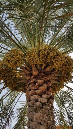 Beautiful dates of Oman