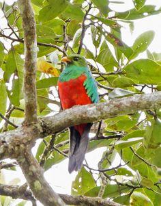 Golden-headed Quetzal - Pharomachrus auriceps 01 by jjarango, via Flickr