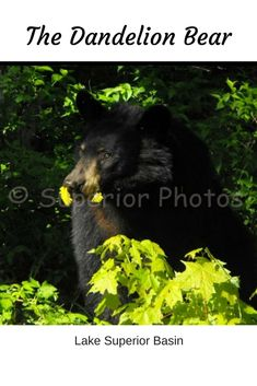 Black bear eating some early spring dandelions along the shoreline of Lake Superior. Meditation Prayer, Neuroplasticity, Lake Superior, Dandelions, Early Spring, Black Bear, Spirituality, Faith, This Or That Questions