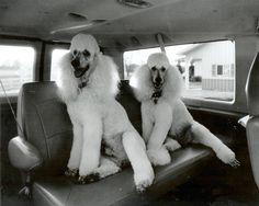 poodles love to Go!  (Bull & Bear)