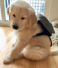 How to care for and train Golden Retriever Puppies - The How of Things diy funny tattoo bonitos cachorros graciosos Cute Little Puppies, Cute Little Animals, Cute Dogs And Puppies, Cute Funny Animals, Baby Dogs, Cute Babies, Doggies, Pet Dogs, Dog School