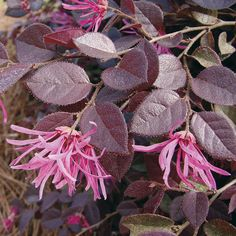 The Frist Editions Crimson Fire Loropetalum is a low maintenance, compact Loropetalum, that's perfect for smaller garden spaces. Flag Pole Landscaping, Small Yard Landscaping, Landscaping Tips, Florida Landscaping, Farmhouse Landscaping, Evergreen Flowering Shrubs, Trees And Shrubs, Trees To Plant, Flowering Bushes