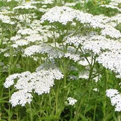 Achillea Millefolium, also known as Yarrow, are tough perennial herbs and thrive in harsh conditions. Easy to grow and great for cut flowers. Landscaping Plants, Garden Plants, Herb Plants, Sun Plants, Landscaping Jobs, The Growers Exchange, Yarrow Plant, Achillea Millefolium, Growing Tomatoes In Containers