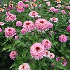 Zinnia 'Zinderella Lilac' stealing the show today in the flower field  #growfloret #floretseeds