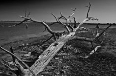 """Tree in black and white.  This illustrates our desparate need for rain.  Many of the resevoirs in Texas are at 65% of capacity and in North Texas, many cities are 20-35"""" short on rainfall over the past three years."""