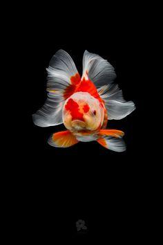 Richly Hued Portraits of Elegant Chinese Goldfish by Tsubaki Lionhead Goldfish, Oranda Goldfish, Goldfish Tank, Colorful Fish, Tropical Fish, Freshwater Aquarium, Aquarium Fish, Goldfish Species, Cool Tech Gifts