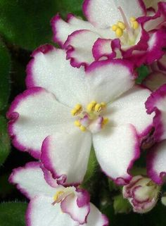 ♡♡♡African Violet...Beautiful