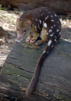 The spotted-tailed quoll is mainland Australia's largest marsupial carnivore. It was one of the first Australian animals to be encountered by Europeans; Arthur Phillip's party collected one at Port Jackson in Interesting Animals, Unusual Animals, Rare Animals, Animals Beautiful, Animals And Pets, Strange Animals, Wild Animals, Adorable Animals, Tier Fotos