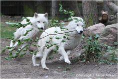 White Wolf: Tanja Askani : Wildlife Photographer and Wolf Expert