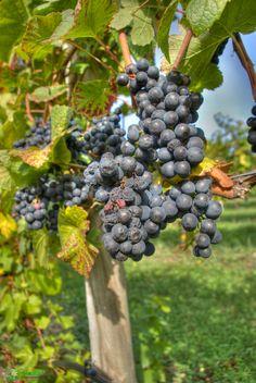 The Magic of Growing Grapes Grape Tree, Grape Vines, Garden Shrubs, Garden Landscaping, Grape Orchard, Vertical Farming, Garden Yard Ideas, Growing Grapes, Fruit Trees