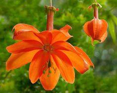 Passiflora parritae