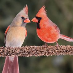 Image detail for -Image of Northern Cardinal