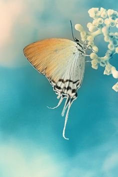 Tiger Butterfly......