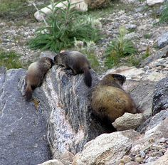 Yellow Bellied Marmot mom with babies at Rock Cut, RMNP - photography by The Zen Lady