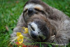 The 29 Cutest Sloths That Ever Slothed : Lucy Cooke loves sloths. The 29 Cutest Sloths That Ever Slothed Pictures Of Sloths, Cute Sloth Pictures, Animal Pictures, Cute Wild Animals, Baby Animals, Baby Giraffes, Adorable Animals, Baby Sloth Video, Cute Baby Sloths