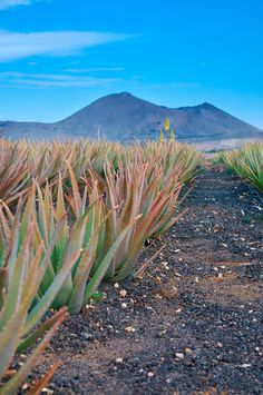 Aloe plantation in Fuerteventura, Canary Islands, Spain. Tenerife, Canary Islands Fuerteventura, Beautiful Islands, Beautiful Places, Places To Travel, Places To Go, Forever Travel, Paraiso Natural, Barcelona