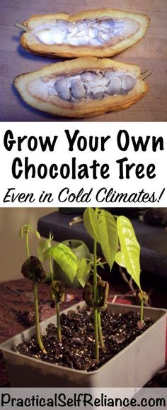 Grow Your Own Chocolate Tree Indoors (Even In Cold Climates) — Practical Self Reliance #kitchengarden vegetable garden
