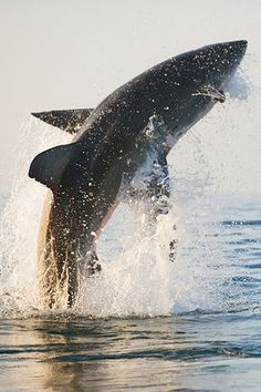 Shark Breaching.  COOL!!  Go to www.YourTravelVideos.com or just click on photo for home videos and much more on sites like this.