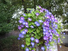 vines for garden arch Morning Glory Vine, Morning Glories, Shade Annuals, Vines, Rainforest Plants, Plant Box, Growing Grapes, Tropical, Backyard