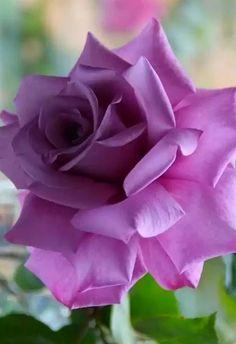 purple rose                                                                                                                                                                                 More