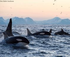 Wild orcas + Norway's landscapes = ultimate whale watching destination!