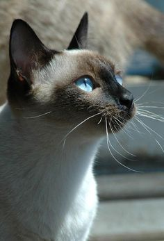 Image about love in fantastic by D AV on We Heart It - Katzenrassen Beautiful Cats Siamese Kittens, Cute Cats And Kittens, Cool Cats, Kittens Cutest, Pretty Cats, Beautiful Cats, Animals Beautiful, Pretty Kitty, Funny Cats