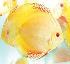 discus fish | Variedades de Discos (SYMPHYSODON AEQUIFASCIATUS)