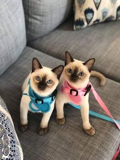 We are Siamese if you please dadadundun Pics Of Cute Cats, Cute Cats And Kittens, I Love Cats, Crazy Cats, Cool Cats, Kittens Cutest, Funny Kittens, White Kittens, Black Cats