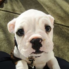 OH MY GOD the cutest bulldog/boxer puppy EVER!