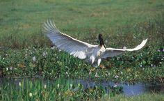 Tuiuiú na região da Rodovia Transpantaneira, no Pantanal Norte, Mato Grosso, Brasil