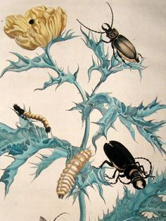 Maria Sybilla Merian - Insects of Surinam 1719