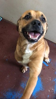 Meet Coco, an adoptable Boxer looking for a forever home. If you're looking for a new pet to adopt or want information on how to get involved with adoptable pets, Petfinder.com is a great resource.
