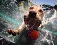 Underwater Dogs 2013 Calendar by Seth Casteel: Hilarious snaps of dogs playing fetch ... head first into water - NY Daily News #Calendar #Underwater_Dogs #Seth_Casteel