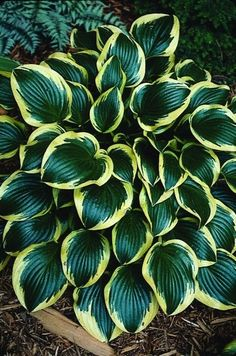 Hosta Queen Josephine (B. Kuk : This is one of the most popular hostas from Ohio breeder, Bob Kuk. The dark, glossy, green, oblong foliage is surrounded by a golden edge that brig. Dry Shade Plants, Shade Garden Plants, Hosta Plants, Cottage Garden Plants, Foliage Plants, Cool Plants, Shade Perennials, Hosta Varieties, Sempervivum
