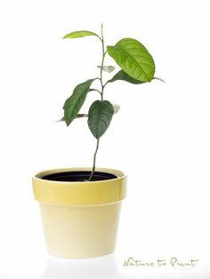 Einen Zitronenbaum selber ziehen: Zeitvertreib für kleine und große Hobbygärtner.