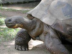 Los animales más longevos del planeta.  La tortuga Galápagos (193 años)  ( Chelonoidis nigra ) es la más grande de las especies vivas de tortugas , alcanzando pesos de más de 400 kg y longitudes de más de 2 metros, con la esperanza de vida en el medio silvestre de más de 100 años, es uno de los más longevos vertebrados. La tortuga es originaria de siete de las Islas Galápagos, un volcán archipiélago de unos 1.000 kilómetros al oeste del Ecuador continental.
