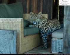We love these shots by Marlon du Toit of this brazen young leopard as he took off with one of Singita's pillows last week. We don't think the pillow stood a chance, do you? Read more about our wildlife sightings in the Singita field guide reports: www.singita.com/blog/wildlife-report/