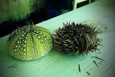 Sea Urchins.