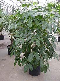 Schefflera actinophylla (Brassaia actinophylla)  Umbrella tree, Schefflera