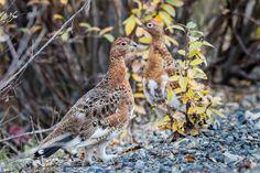 Willow Ptarmigan by Loren Mooney on Willow Ptarmigan, Aquatic Birds, Yukon Territory, Owl, Animals, Animales, Animaux, Owls, Animal