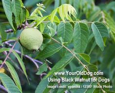 Continuing my series on safe herbs for dogs; black walnut is one herbal formula that requires extreme caution!