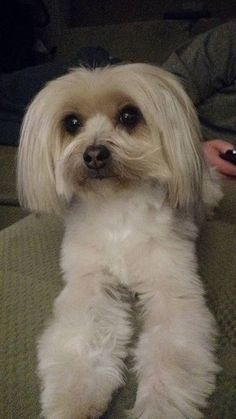 ~ Daily Dose of Cuteness ~  Lola's new haircut (Shared by Chris Riley) #DogoftheDay http://aboutmorkies.com/ Follow us: Facebook.com/YorkiesMorkiesMaltese Twitter.com/morkienation #dog #doglovers #animals #pets #yorkies #yorkie #yorkielovers #petlovers #dogowners #puppy #adorablepets #sillydogs #smallanimals #instadogs #instayorkie #instapuppy #instaanimals #petsofinstagram #dogsofinstagram #yorkieofinstagram #puppylove #animallovers #ilovemypet #ilovemyyorkie #igdogs #igpets…