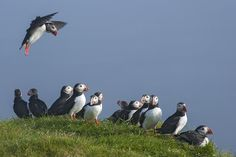 Make+Room+For+Me!+-+From+our+Puffin+shoot+in+Iceland