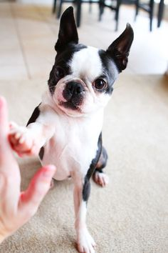 The Boston Terrier breed originated in Boston and is one of the few breeds that are native to the U. Baby Pugs, Baby Puppies, Cute Puppies, Cute Dogs, Bulldog Puppies, Boston Terriers, Boston Terrier Love, Bull Terrier Dog, Terrier Puppies