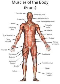 Major muscles on the front of the body yoga pain management poster muscle layout of the human body picture anatomy medical health art ccuart Gallery