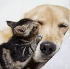 Golden Retriever looks after kitten photos) Introducing Dog To Cat, Cute Baby Animals, Funny Animals, Amor Animal, Funny Animal Photos, Golden Retriever, Cute Dogs And Puppies, Adorable Puppies, Cat Facts