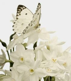 'White butterfly on white flowers. These are the ones I have in my butterfly garden. Butterfly Kisses, White Butterfly, Butterfly Flowers, Beautiful Butterflies, White Flowers, Beautiful Flowers, Flowers Garden, Flowers Nature, Madame Butterfly