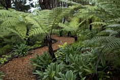Bark path through the native tree ferns and kauri at Omaio garden, Matakana, New Zealand