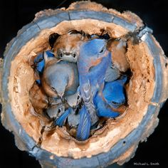 bluebirds nesting in a log, photographed by Michael L Smith