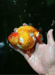 Goldfish Sunken Eyes, Golden Fish, Water Life, Angel Fish, Freshwater Fish, Aquarium Fish, Fish Tank, Fresh Water, Bubble